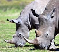 高大强健的犀牛