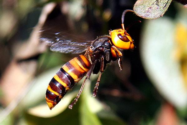 凶悍的大虎头蜂。